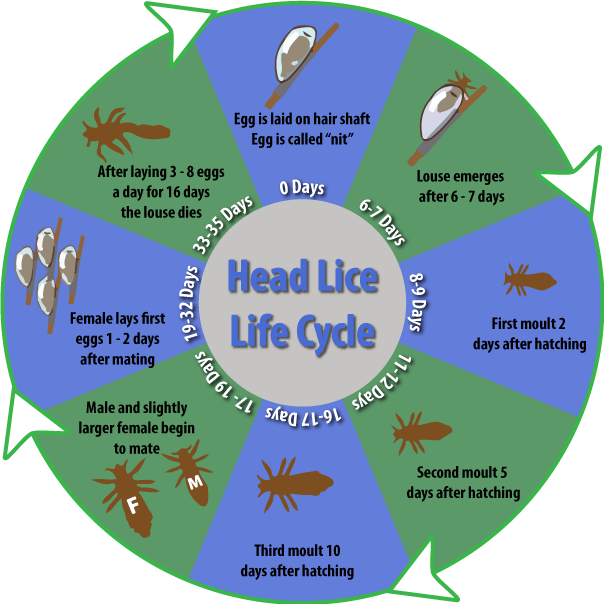 Gallery For u0026gt; Head Lice Life Cycle